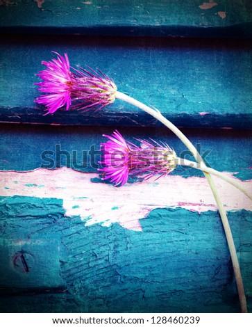 Photo of beautiful pink cornflowers on blue wooden background, stem of purple centaurea smeary in white paint, two violet knapweed flowers on blue grungy door, spring season, bloom time concept - stock photo