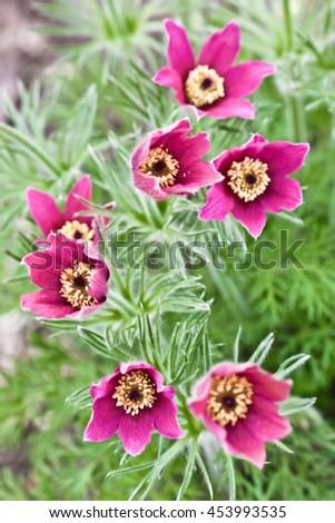Photo of beautiful pink snowdrops - stock photo