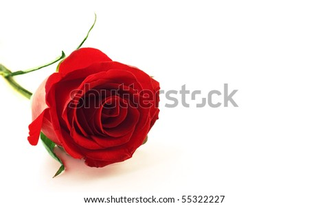 Photo of beautiful red rose flower - stock photo