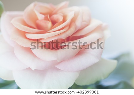 Photo of beautiful roses in natural light