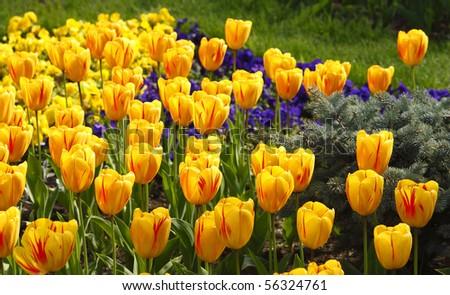 Photo of beautiful yellow tulips in the light of the sun - stock photo