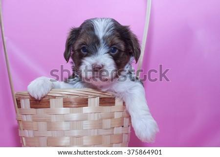 Photo of Biewer Yorkshire terrier puppy - stock photo