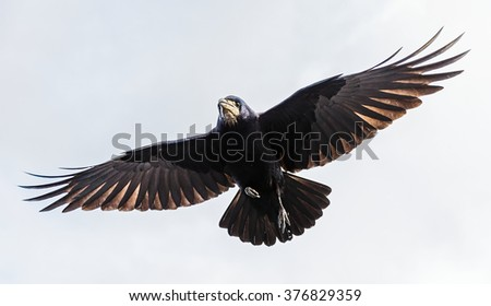 Photo of black crow flying with spread wings