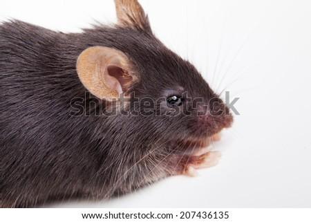 Photo of black mouse, isolated on white background - stock photo