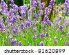 photo of blooming purple lavender flowers bush - stock photo