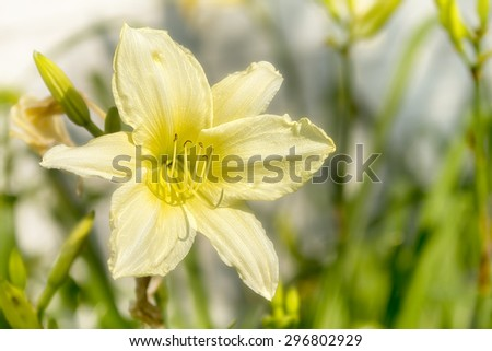 Photo of blooming soft yellow daylily in a garden. Beautiful perennial flower with a long bloom time. - stock photo