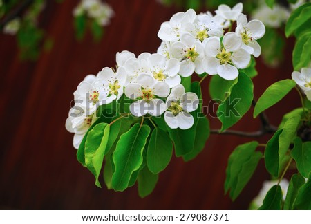 Photo of blossoming tree branch with white flowers on bokeh bright brown background. Shallow depth of field. Selective focus. - stock photo