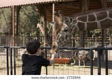 Photo of boy feeding a giraffe some food. - stock photo