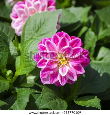 Photo of Bright Color Chrysanthemum Flower in Sunny Day  - stock photo