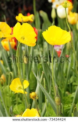 Photo of bright yellow poppies in the garden - stock photo