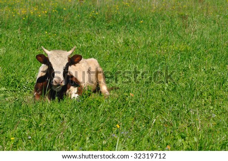 Photo of brown cow lying in grass on a sunny summer day - stock photo