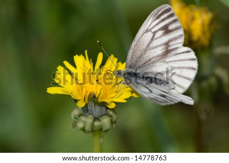 photo of butterfly pollinating yellow dandelion and drinking nectar - stock photo