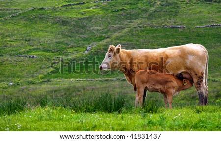 photo of calf cow feeding in a rural countryside farm - stock photo