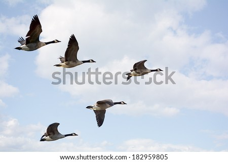Photo of  Canadian Geese flying in formation.  Taken on the scenic Maumee river in Northwest Ohio. - stock photo