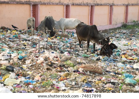 photo of cows with calves, who live and graze in the trash - stock photo