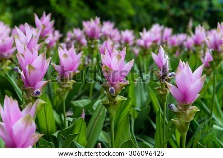 Photo of Curcuma alismatifolia blossom in Thailand, Siam Tulip background in thailand., Field of siam tulip flowers, Siam Tulip - stock photo