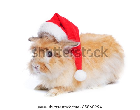 Photo of cute guinea pig in a santa hat. Isolated