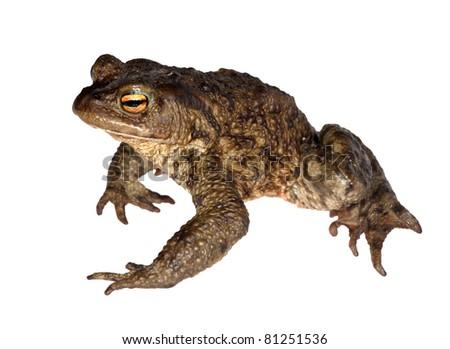 photo of dark frog isolated on white background - stock photo