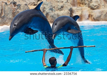 photo of dolphins doing a show in the swimmingpool - stock photo