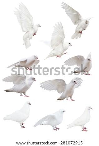 photo of doves isolated on white background - stock photo