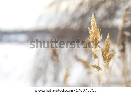 photo of dry coastal reed - short depth of field and blurred background  - stock photo
