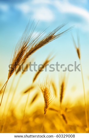 Photo of ear of wheat with bright sun and blue sky - stock photo