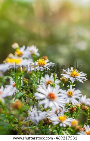 Photo of European michaelmas daisy Aster amellus with blurred bokeh background. Alpine aster, family Asteraceae.