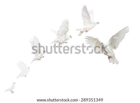 photo of flying dove isolated on white background - stock photo