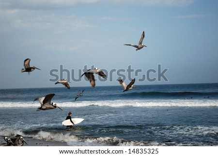 Photo of flying pelicans, Pacific Ocean, California, USA