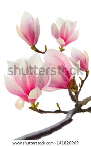 photo of fresh magnolia tree - stock photo