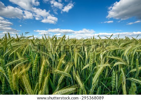 Photo of fully grown grain, wide angle image