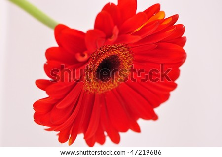 Photo of gerber flower isolated on white background.
