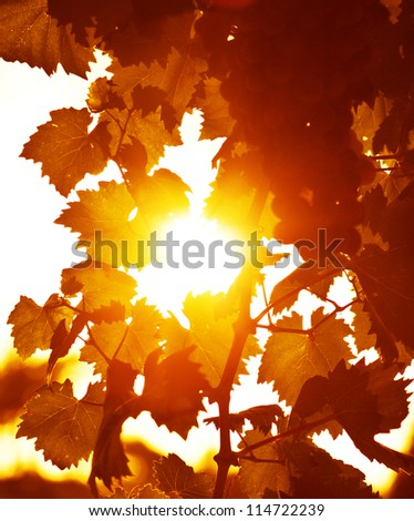 Photo of grape leaves background, autumn harvest season, warm yellow sunbeam through fresh tree leaves, vineyard valley, fruit plant, farming nature, fall foliage, autumnal grapes branch - stock photo