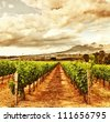 Photo of grape valley, harvest season, beautiful sunset over vineyard, plantation of fruits, winery farm, retro autumn background, grapes garden landscape, healthy organic food - stock photo