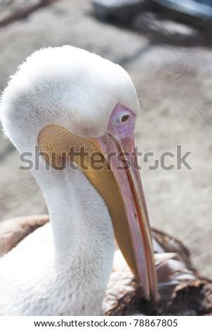 Photo of great white pelican closeup - Pelecanus onocrotalus - stock photo