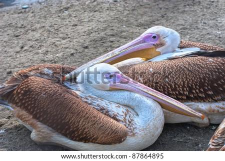Photo of great white pelicans closeup - Pelecanus onocrotalus - stock photo