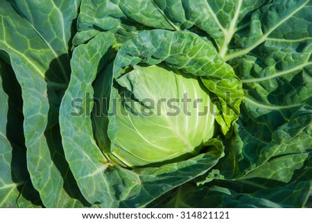 Photo of green cabbage's head with leafs