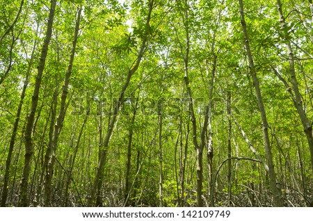 Photo of green fertile mangrove forests of Thailand. - stock photo