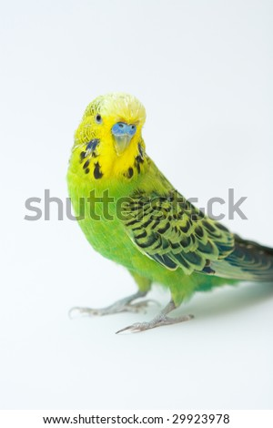 Photo of green parrot on the white background - stock photo