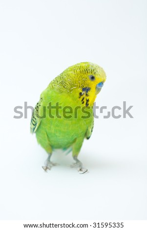 Photo of green parrot on the white backround - stock photo