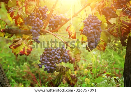 Photo of green vineyard and grapes - stock photo