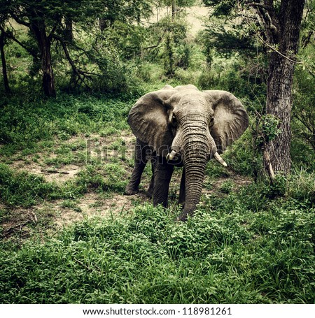 Photo of huge elephant graze in fresh green woods, big african animal, drive game, national park, jungle forest, reserve and conservation, large wild mammal, travel and tourism concept - stock photo