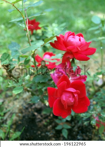 photo of Knockout Rose bush showcasing it's blooming flowers - stock photo