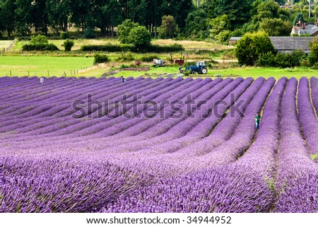 Photo of lavenders taken in a farm in Hitchin, Hertfordshire