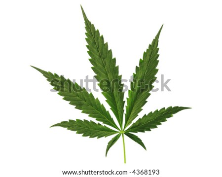 Photo of leaf of full-grown hemp.
