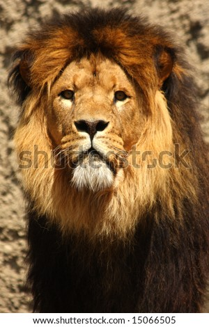 Photo of male lion - stock photo