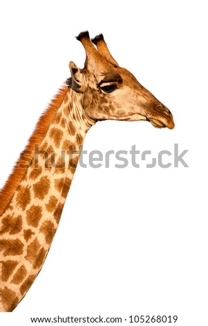 Photo of male Masai Giraffe (Giraffa camelopardalis) in the Moremi Game Reserve, Botswana, Africa standing, with Oxpecker bird on head, looking away from the camera and isolated on a white background. - stock photo