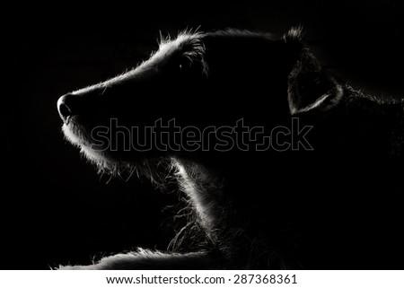 photo of old dog with rim lighting - stock photo