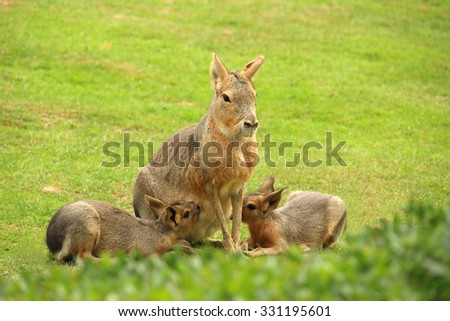 Photo of patagonian mara breastfeeding it's cubs (animal also known as patagonian cavy, patagonian hare or dillaby) - stock photo