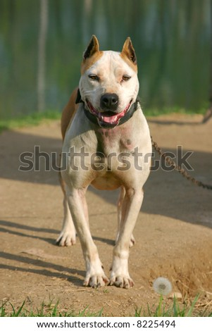 Photo of pit bull with metal chain leading to collar - stock photo